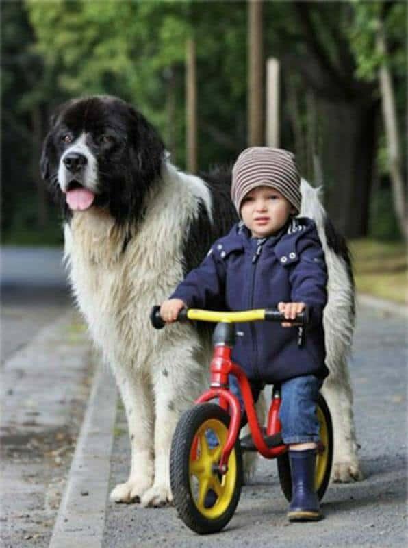 Tierpsychologie Ausbildung - kleiner Junge mit Mütze auf Laufrad mit großem Hund
