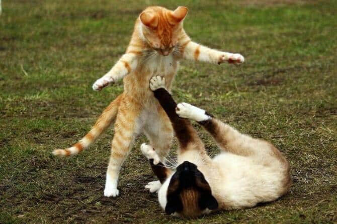 Tierpsychologie Ausbildung - Machtspielchen zweier Katzen auf einer Wiese