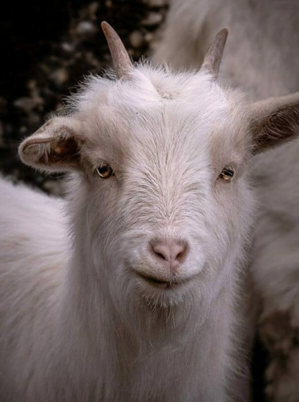 Tierpsychologie Ausbildung - Portrait einer jungen Ziege