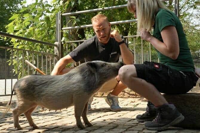 Tiertrainer Ausbildung - Arbeit mit Minischwein in der Ausbildung zum Tiertrainer