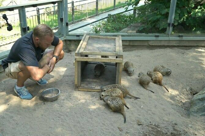 Tiertrainer Ausbildung - Erdmännchen mit Mensch in einem Gehege