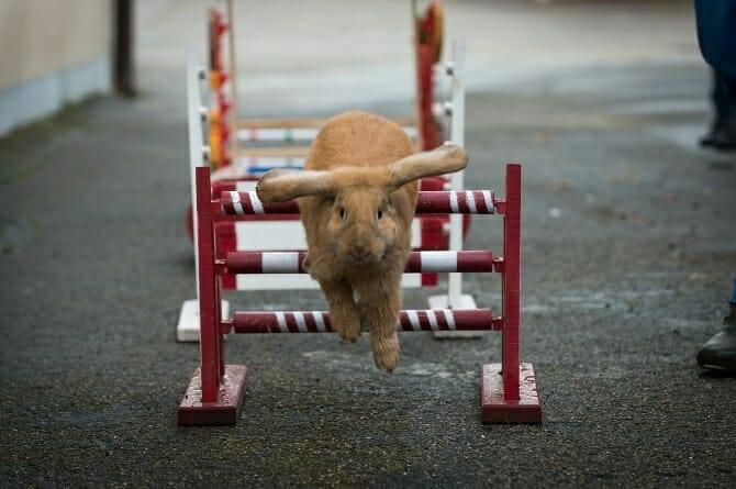 Tiertrainer Ausbildung - Kaninchen springt über rot-weißes Hindernis