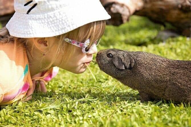 Tiertrainer Ausbildung - Kind teilt Grashalm mit Meerschweinchen