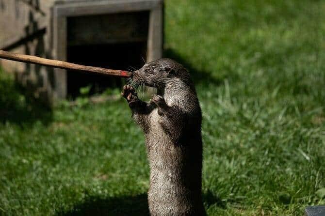 Tiertrainer Ausbildung - Otter beim Training auf einer grünen Wiese