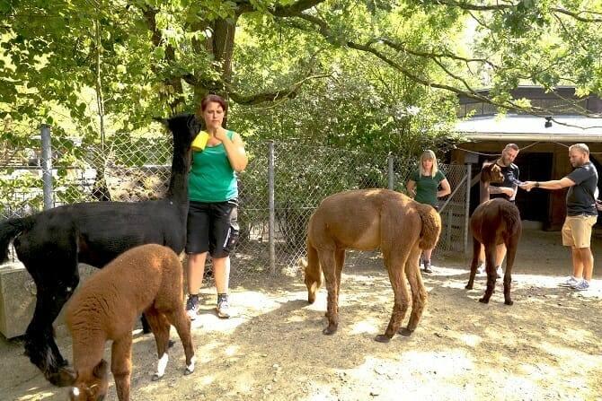 Tiertrainer Ausbildung - Trainer arbeiten mit Alpakas im Zoo