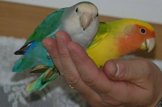 Tiertrainer Ausbildung - zwei Agaporniden auf menschlicher Hand