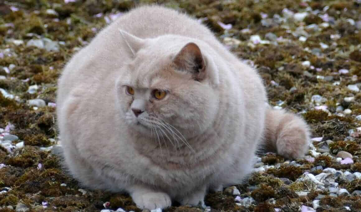 Übergewichtige Katzen – Mit durchdachter Diät zum Idealgewicht