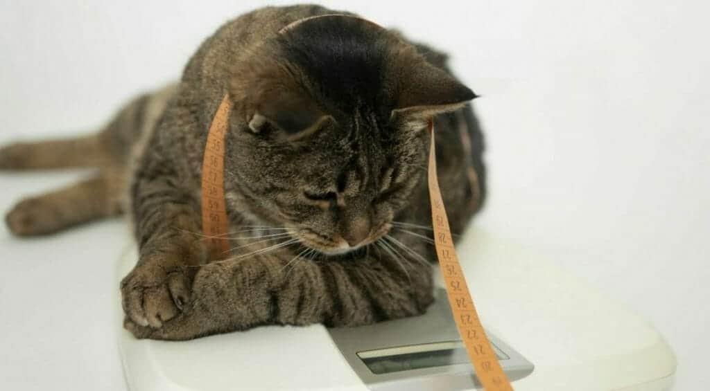 uebergewichtige katzen ursachen und folgen der adipositas bei katzen