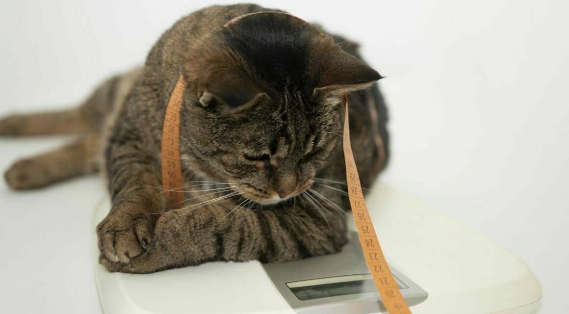 Übergewichtige Katzen - Ursachen und Folgen der Adipositas bei Katzen