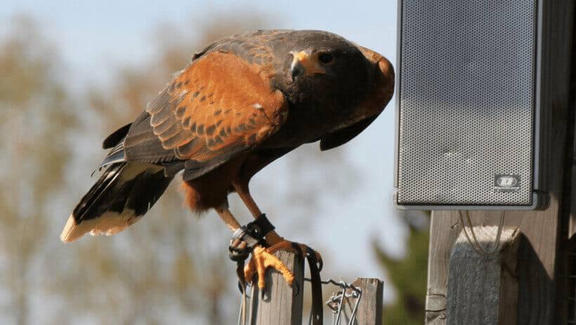 Der Harris-Hawk vor einem Lautsprecher