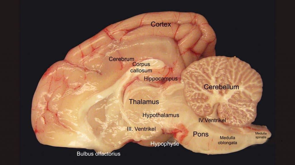 Was passiert im Kopf des Hundes bei derJagd? – Physiologie derJagd Querschnitt durch ein Hundegehirn