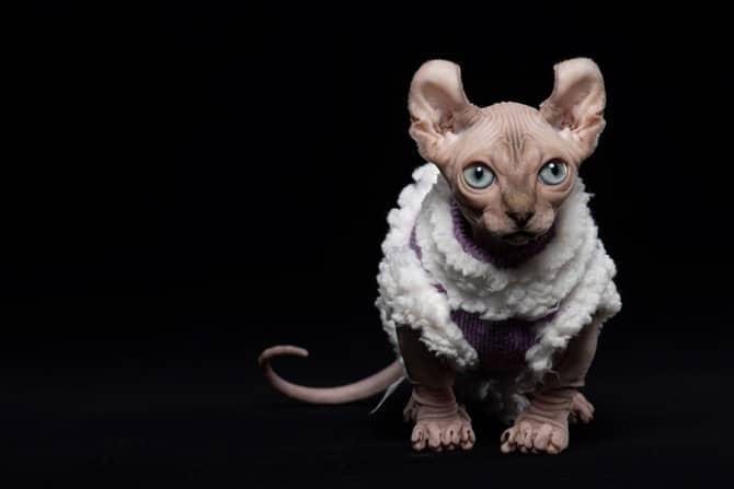 Nacktkatzen: Haarlosigkeit als Zuchtziel Elfenkatze © iStock