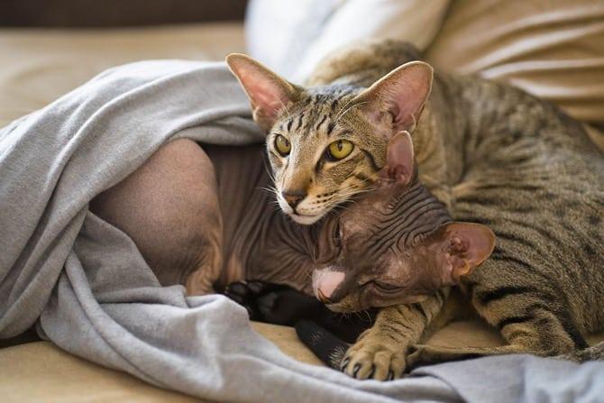 Nacktkatzen: Haarlosigkeit als Zuchtziel Sphynx und mit Haaren ©mrviktorzolotukhin/Pixabay