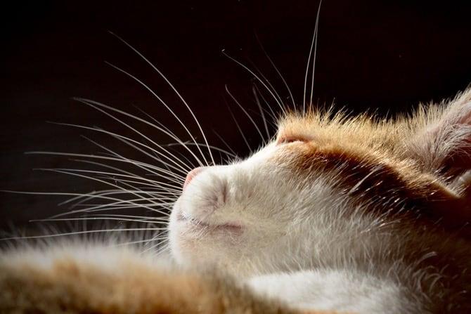 Nacktkatzen Haarlosigkeit als Zuchtziel Tasthaare am Kopf ©Loesche