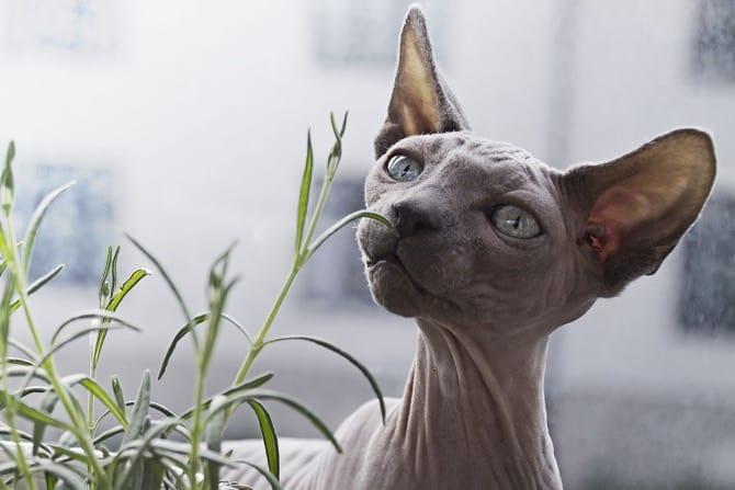 Nacktkatzen: Haarlosigkeit als Zuchtziel Titelfoto