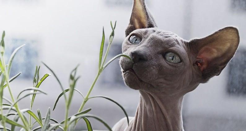 Nacktkatzen - Haarlosigkeit als Zuchtziel Titelfoto 794 x 423
